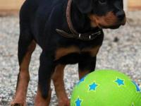 ROTTWEILER PUPPY - AKC REG. OFA CERTIFIED PARENTS SIRE