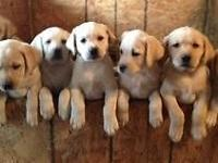 AKC/OFA Champion bred English Labrador puppies offered