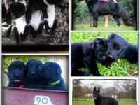AKC solid black, GSD pups born on St.Patricks day