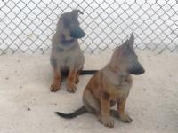 : AKC,OFA AND DNA PROFILED MINDY BLK & TAN AND BRUNO