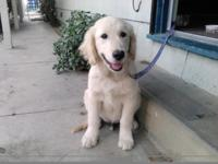 Sweet Cream AKC Golden Retriever cream puppy. He is