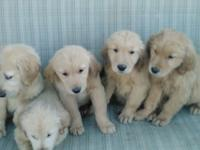 Gorgeous AKC Golden Retriever Puppies. Born September