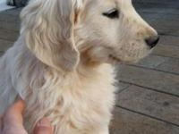 AKC / OFA Golden Retriever Pups At present we have 3