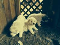 New litter of AKC Great Pyrenees born on Thanksgiving