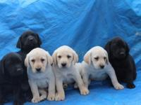 AKC/OFA REGISTERED LABRADOR RETRIEVER PUPS. CANDLEWOODS