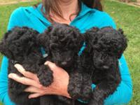 Black standard poodle puppies born 5/30/15. All puppies