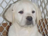 New Litter of white/English AKC, OFA (Hips, eyes and