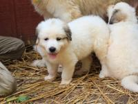 OFA certified parents, AKC Pyrenees working Livestock