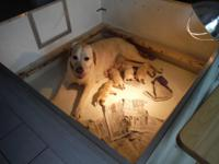 AKC OFA yellow lab puppies born 7/9 For more
