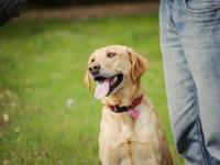 Yellow Labrador Retriever Pups: This is one of the best