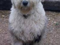 AKC King is a healthy outside Old English Sheepdog. He