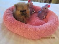 This little girl is a toy Pomeranian, born on Aug. 17,