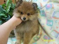 Beautiful AKC Orange Female Pomeranian Puppy. She has a