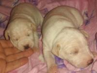 Both pups are apricots. Taking deposits on these girls