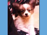 Beautiful AKC signed up Papillon young puppies, they