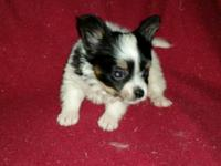 Cute little papillon puppies come with health cert and