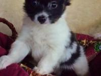 2 adoreable papillon male pups. Lovely AKC Champion