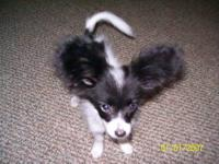 AkC Papillon Puppies, Now taking deposits, Healthy,
