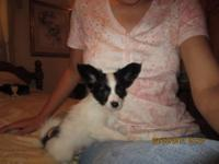 Noah is an AKC registered male black and white