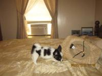 Seth is an AKC registered black/white male puppy with