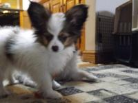 Gorgeous, sweet AKC Papilllon young puppies. 18 years