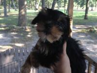 I have an AKC Parti Carrier Yorkie female pup forsale.