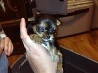 I have 7 lovely AKC Yorkie young puppies available to a