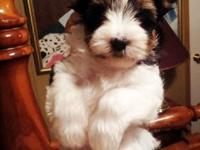 "MEET MR SUEDE "" HE IS A BLACK AND WHITE PARTI YORKIE"