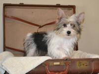 Misty is a gorgeous little parti-yorkie girl. She is