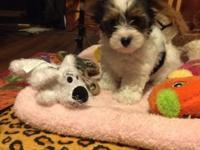 Darling little Parti Yorkie female puppy 9 weeks old .