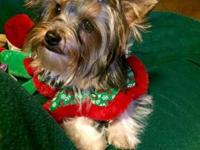 Parti male Yorkie born in June. Very charming with