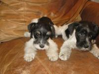 AKC Parti Mini Schnauzers 8 weeks old Price $400---