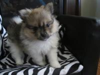 Beautiful little AKC registered, cream sable parti,