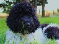 Doodles and More has a litter of standard poodle