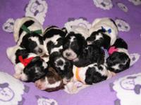 We have 7 Moyan and 3 Standard poodle puppies avaivale