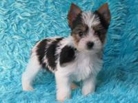 Male parti yorkie. dad 3 half pounds mom is 5 pounds.
