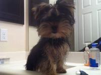 26 Weeks Old Parti Yorkie, Declaw, Deworm, Dock Tail,