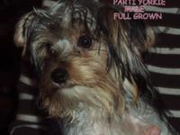 Anderson's Yorkies proudly introduces Patsy's second