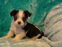 AKC Parti Gene Carrier Yorkshire Terrier puppy. He was