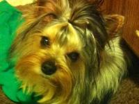 I have an 12 month old Akc registered Parti Yorkie male