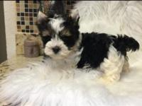 Small and teddy bear face Yorkie male Amazing full