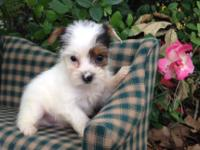 I have an AKC Parti Yorkie male for sale he was born on
