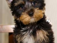 Now Avail, AKC Parti Yorkies. Give me a call for