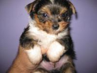AKC PARTI YORKIE TCUP 3 MONTHS OLD 1 POUND SHOTS AND