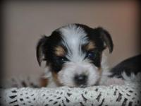 Akc Parti Yorkie males born August 30 will be ready for
