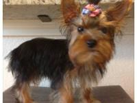 Beautiful AKC parti Yorkies, Gorgeous makings and cute