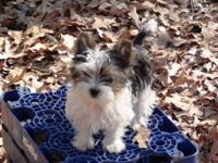 AKC Parti Yorkshire Terrier puppy. This little male