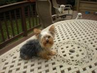Male & Female Parti Yorkies. Wonderful opportunity to