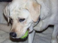 Paxton is a ivory or white lab pup. He is full English