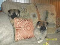We have 2 Peeka Pom Pom puppies ..they are designer